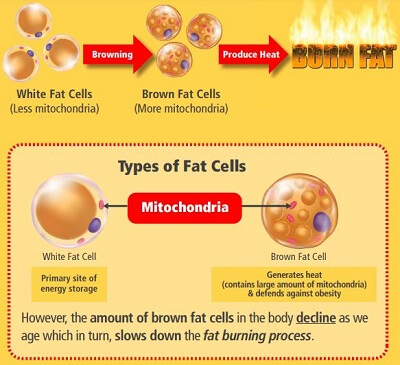 Fat Cells Thermogenesis