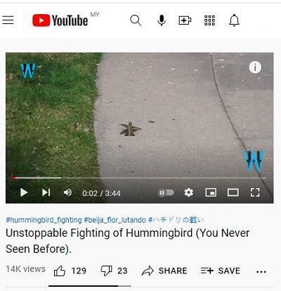 Fighting hummingbird video