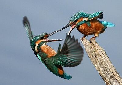 Hummingbird fighting